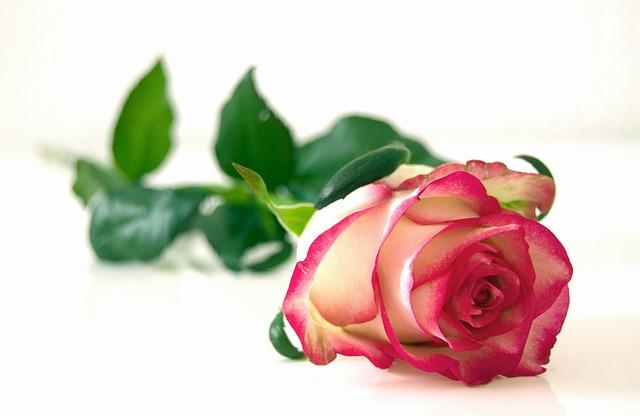 jedna růže